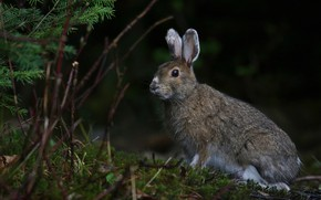 Picture forest, look, branches, the dark background, grey, hare, muzzle, ears, sitting, needles, Bunny, wildlife, rodents
