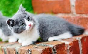 Picture cat, kitty, Munchkin