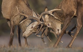 Picture nature, fight, duel, deer