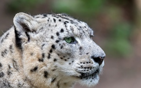 Picture look, face, snow leopard
