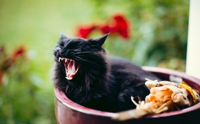 Picture leaves, fluffy, mouth, lies, pot, black cat, yawns, blurred background, he closed his eyes