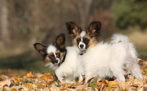 Picture autumn, dogs, leaves