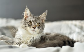 Picture look, kitty, Maine Coon