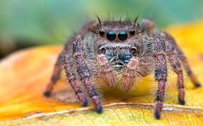 Picture macro, background, leaf, jumper, hairy, arthropods, the Hoppy, eyes, spider, spider