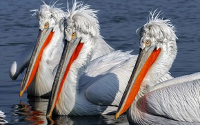 Picture pelicans, birds, nature