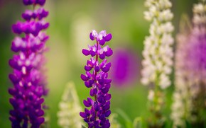 Picture field, summer, grass, flowers, Lupin