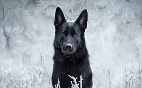 Picture frost, look, face, branches, dog, black, German shepherd