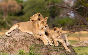 Picture stay, wool, tail, color, lioness