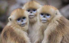 Picture monkey, monkeys, trio