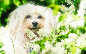Picture look, face, dog, flowering, The Havanese, cherry