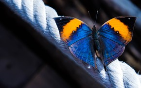 Wallpaper rope, macro, Kallima, butterfly, wings