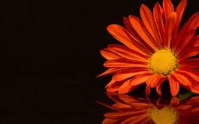 Picture flower, reflection, petals