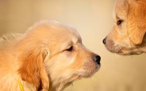 Picture dogs, background, puppies, faces, Golden Retriever, Golden Retriever