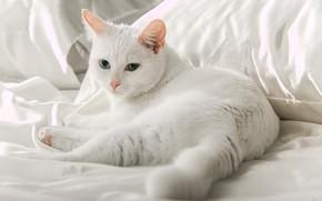 Picture white, eyes, cat, lies, Kota