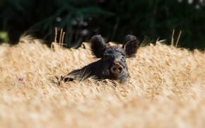 Picture summer, ears, boar