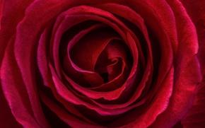 Picture Macro, Macro, Red rose, Red rose