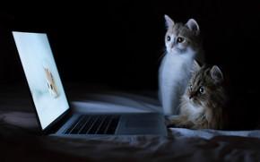 Wallpaper Cats, funny, animals, computer, laptops, kittens, cute, felines
