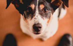 Picture look, face, dog, shoes, ears, Jack Russell Terrier