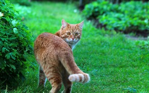 Picture summer, cat, cats, nature, red cat, Stepan, Stepan