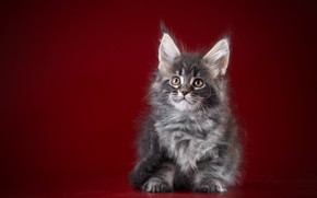 Picture red, background, Kitty, Baby, Maine Coon