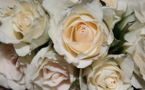 Picture roses, bouquet, white, flower, Rose, White
