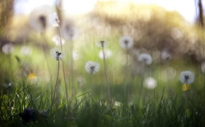 Picture nature, spring, dandelions