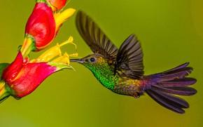 Picture flower, bird, wings, beak, Hummingbird, Hummingbird-chalybura
