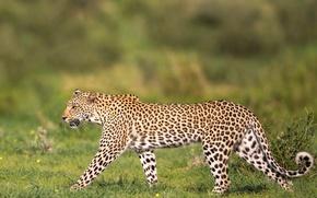 Picture leopard, grace, wild cat