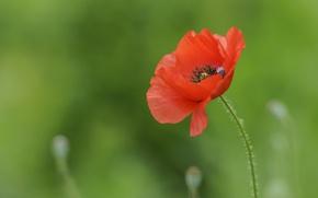 Picture nature, Mac, petals, stem