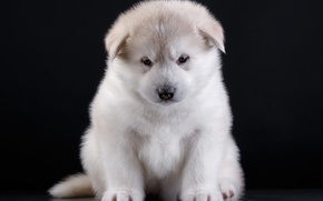 Picture puppy, breed, Akita
