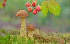 Picture berries, raspberry, mushrooms