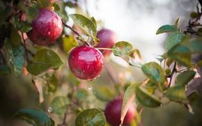 Picture wet, apples, fruit, Apple