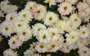 Picture autumn, white, chrysanthemum, mamala ©