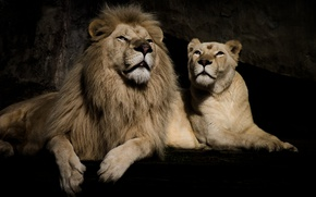 Wallpaper background, stay, Leo, lioness, pair