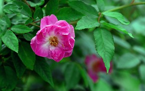 Picture Rose, Bush, Flowering