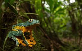 Picture nature, background, Fringed leaf frog, Cruziohyla craspedopus