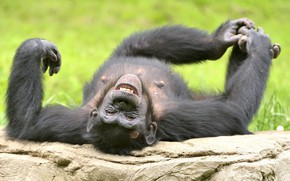 Picture laughter, funny, chimpanzees