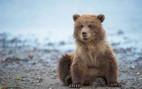 Picture Alaska, bear, bear