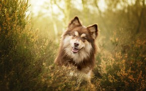 Picture grass, look, face, dog, Finnish lapphund