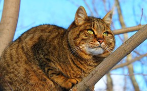 Wallpaper the cat itself, a cat in a tree, cat Wallpaper, the name Fluff, green eyes, ...