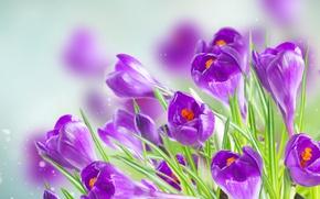 Wallpaper background, purple, crocuses, bokeh, closeup