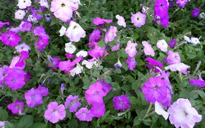 Picture summer, Petunia, July
