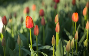 Picture flowers, nature, spring, Tulips, Flowering