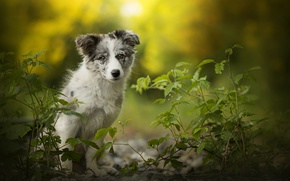 Wallpaper Australian shepherd, Alice, dog, puppy, Aussie, bokeh