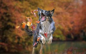 Wallpaper dog, bokeh, the game, mood, The border collie, autumn, leaves