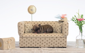 Picture flowers, sofa, sleeping, puppy, Chihuahua, Dogs, Sleep