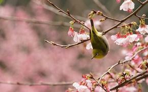 Wallpaper spring, flowering, Sakura, Japanese white-eye, garden, bird, branch