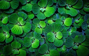Picture greens, macro, foliage, rosteniya