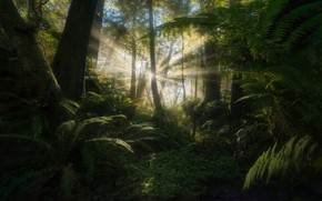 Picture forest, the sun, rays, light, ferns