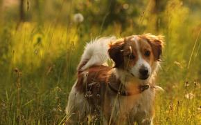 Picture field, summer, grass, light, nature, mood, dog, meadow, red, puppy, collar, kooikerhondje